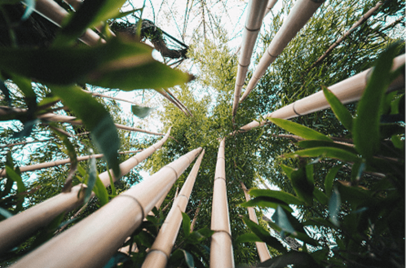 Bamboo growth